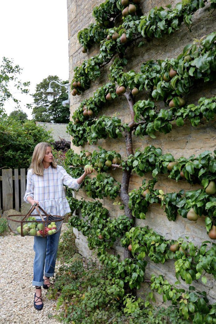 une femme cuilit des poires d un arbre collé au mur jardinier amateur