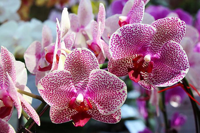 une photo de fleur exotique orchidée tigré avec un coloris blanc cyclamen