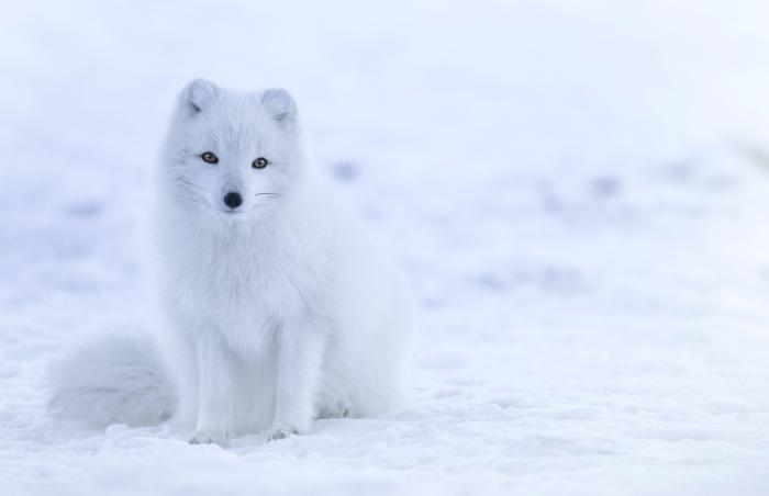 ville churchill safari glacé province manitoba région bélugas ours polaires renard arctique bucket liste de voyage au Canada