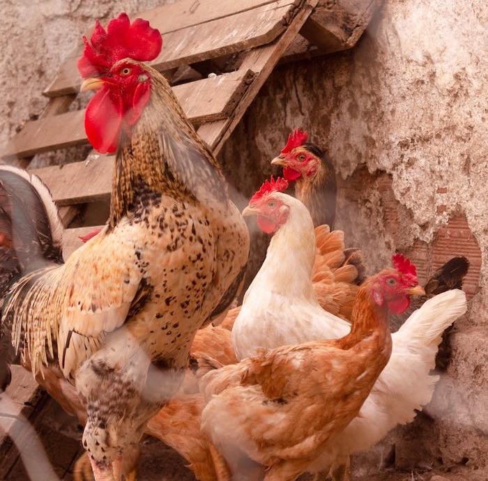 besoin de coq pour la fécondation des oeufs idée basse court agrandissement avec poussins