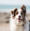 chien marron blanc chien au bord de la mer