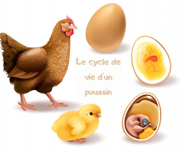 comment avoir des poussins le cycle de vie d un poussin élévage poules maison basse cour