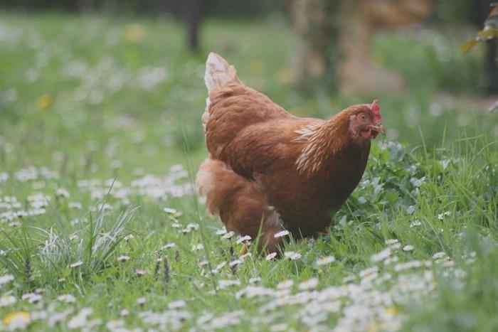 trouver une poule couveuse idée comment avoir des poussins chez soi basse cour animaux jardin