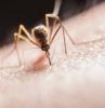 un moustique qui fait de la piqure sur la peau humaine