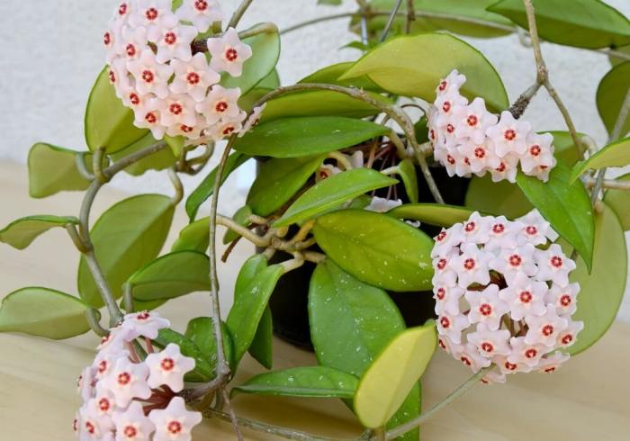 décoration avec plante fleurie intérieur espèce végétale feuilles vertes fleur parfumée