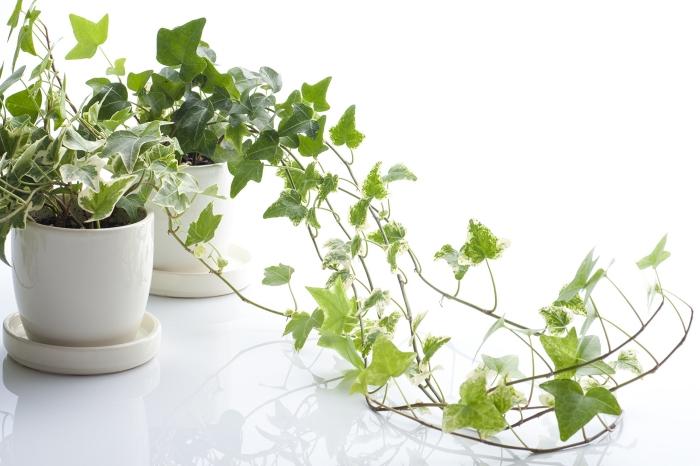 lierre d intérieur espèce végétale grimpante ivy anglais pot fleur blanc décoration feuilles panachées