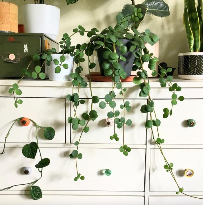 plante retombante peperomia hope décoration salon avec plantes vertes pot fleur blanc