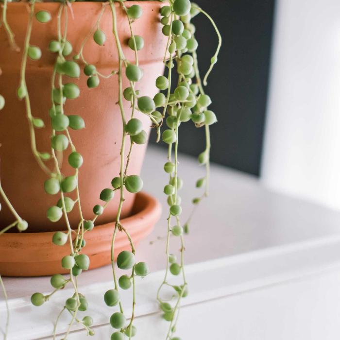 plante tombante collier de perles cultivation pot terre cuite arrosage température lumière soleil