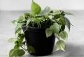 Zoom sur la déco avec plante tombante ou plante grimpante d'intérieur