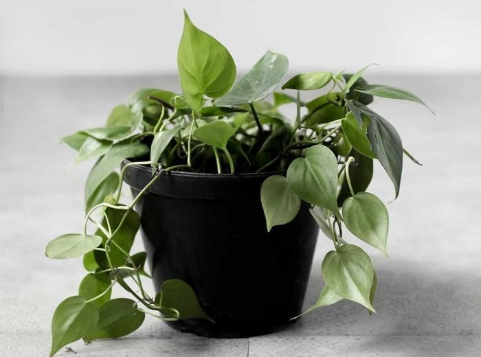 plante tombante interieur ombre philodendron cordatum pot fleur noir décoration intérieure végétale