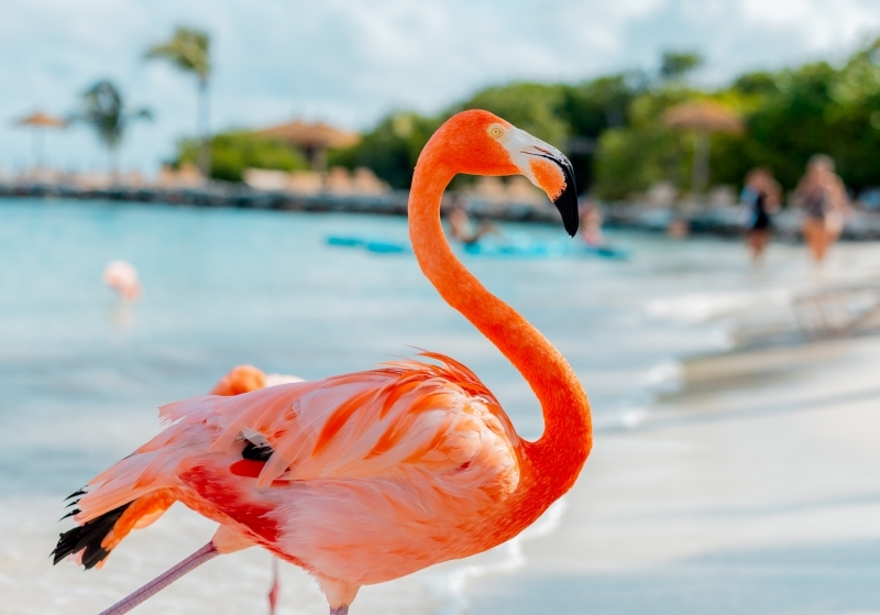 aruba îles paradisiaques plage sable blanc eau turquoise flamand rose