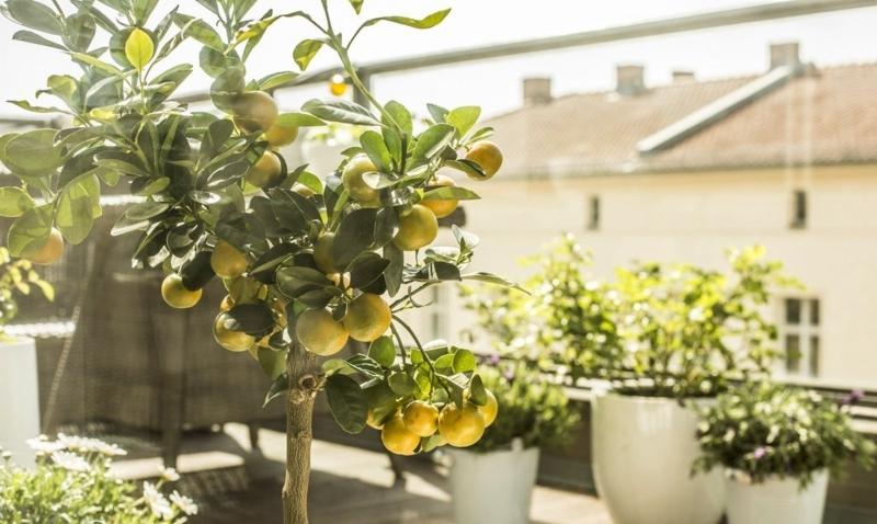 arrosage citronnier en pot arbre citronnier sous le soleil