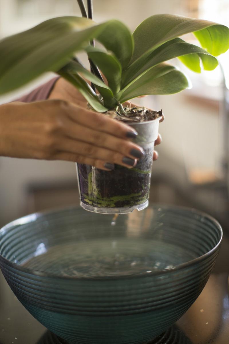 arrosage orchidée en pot arrosage d'une orchidée en boule