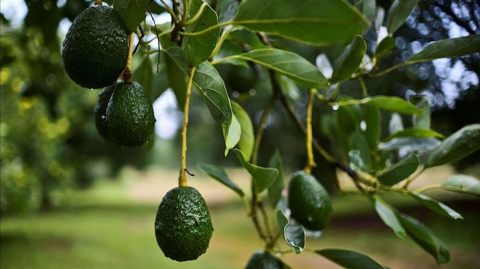 avocatier entretien arbre d avocat avec beaucoup de fruits