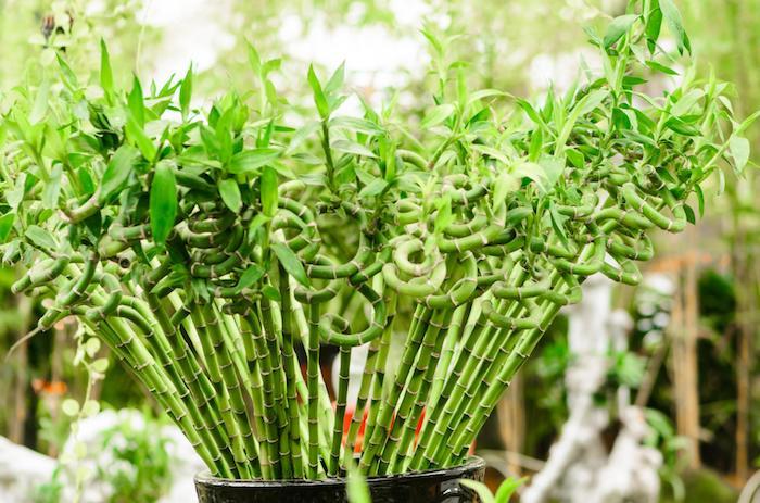 bac pour bambou plante verte en touffes bambou décoratif