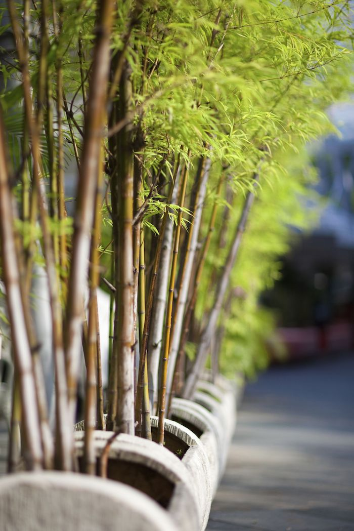 bambou non traçant brise vue planté en bacs à fleurs