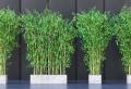 Conseils et astuces comment entretenir et soigner un bambou en jardinière