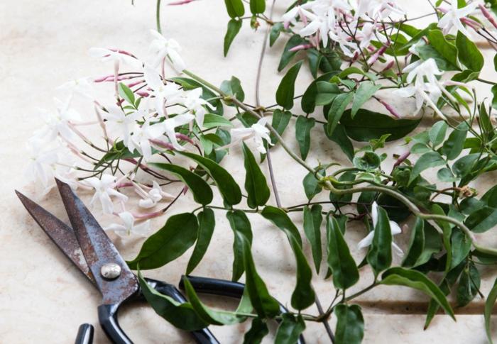 bouture jasmin étoilé des ciseaux pour bouturer le jasmin