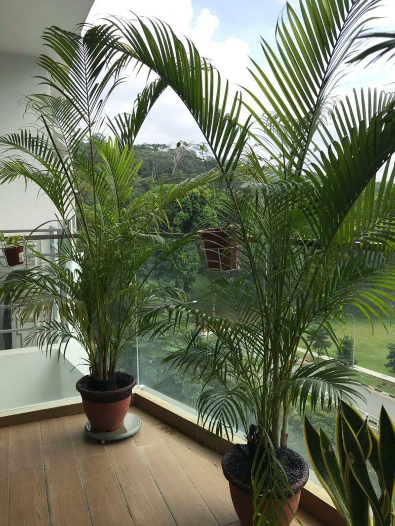 brise vue feuillage les palmiers jouent le rôle de brise vue sur le balcon