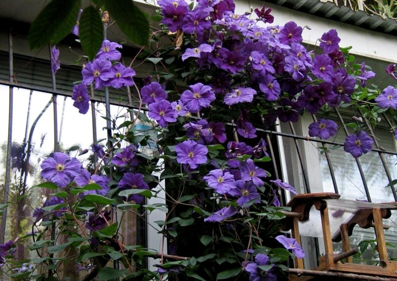 brise vue jardiniere la clématite sur un balcon