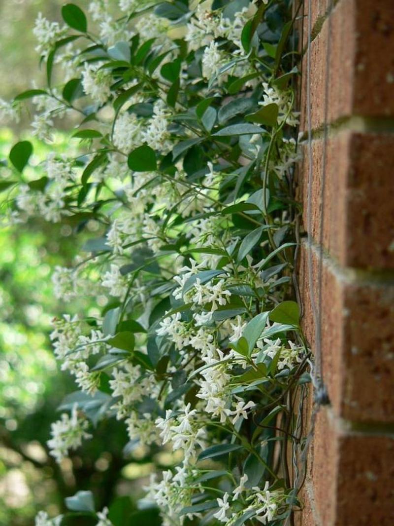 brise vue vegetal bambou le jasmin étoilé grimpant