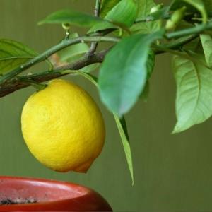 Le citronnier en pot - plantation, taille et entretien