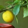 citronnier 4 saisons un citronnier en pot