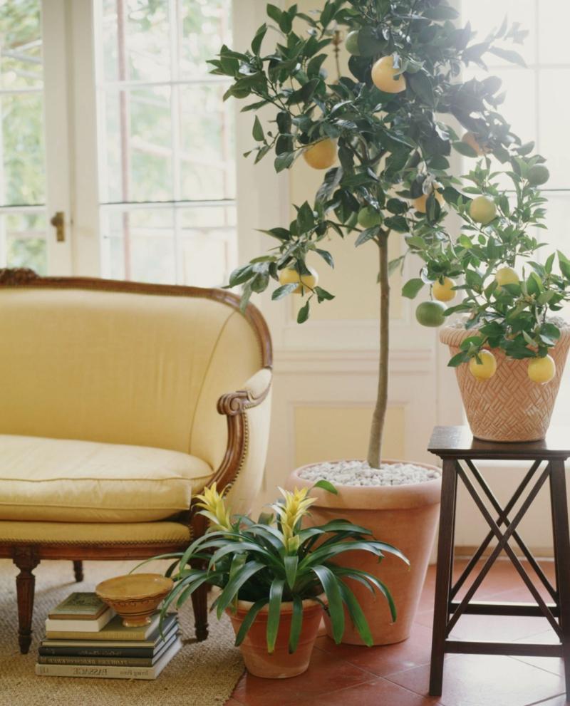 citronnier en pot le citronnier comme une décoration d une salle