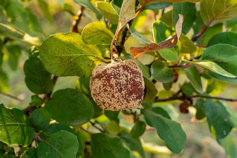 citronnier maladies un citronnier malade de la moniliose
