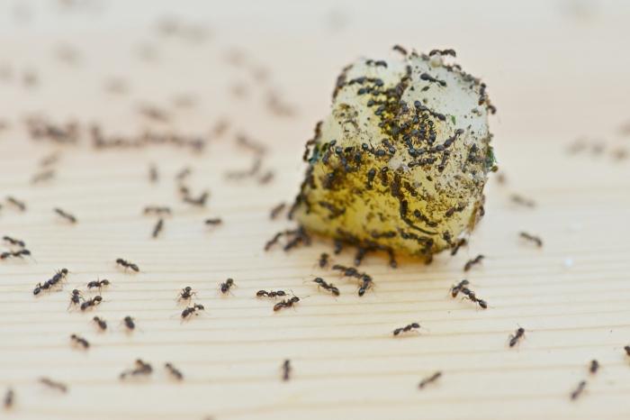 comment éliminer les fourmis avec des ingrédients naturels sans produits chimiques méthodes