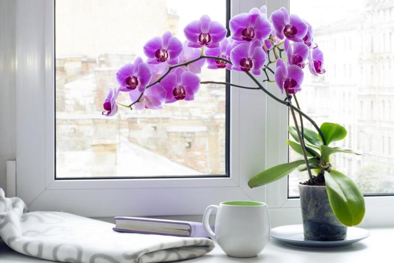 comment arroser une orchidée une orchidée très fleurie qui se trouve près de la fenêtre