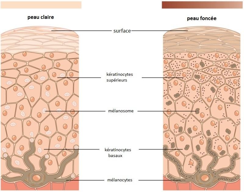 comment bronzer rapidement le fonctionnement des mélanocytes