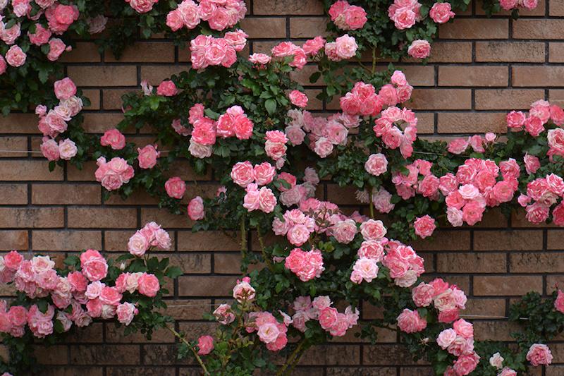 comment cacher un mur moche mur habillage de rosier grimpant