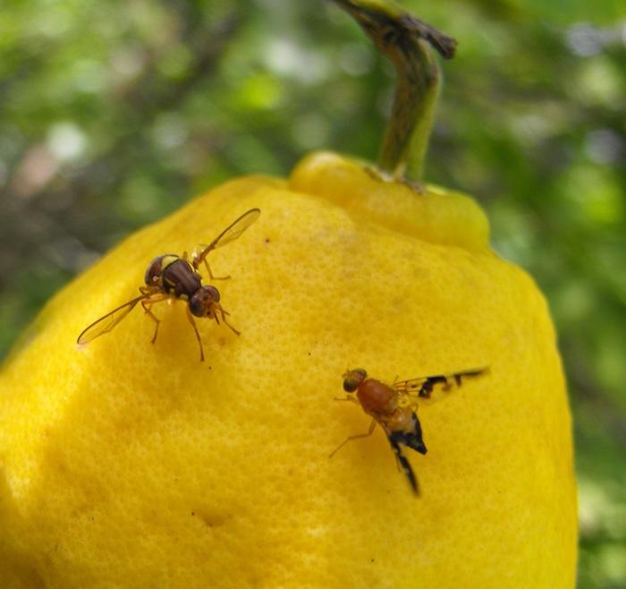 comment éliminer les moucherons à la maison moucherons sur un citron