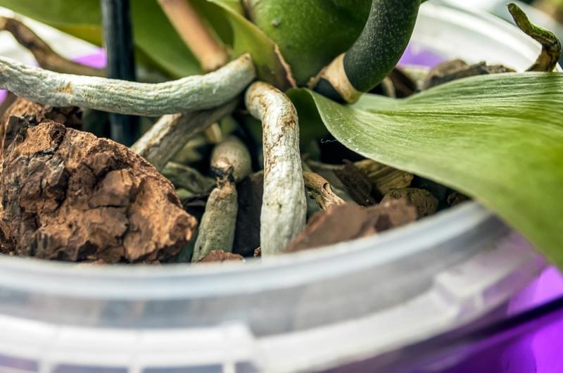 comment entretenir une orchidée les racines pâles d une orchidée