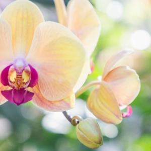 Comment entretenir une orchidée ? Une tâche difficile, mais non pas impossible !