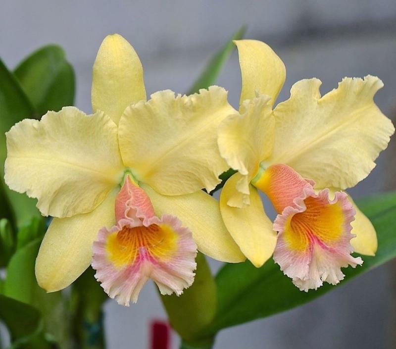 comment entretenir une orchidée une orchidée de type cattleya en jaune