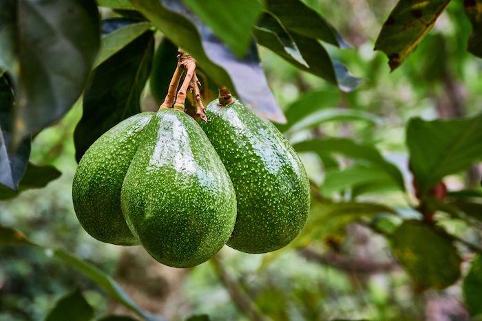 comment faire pousser un avocatier à la maison arbre d avocat plein de fruits