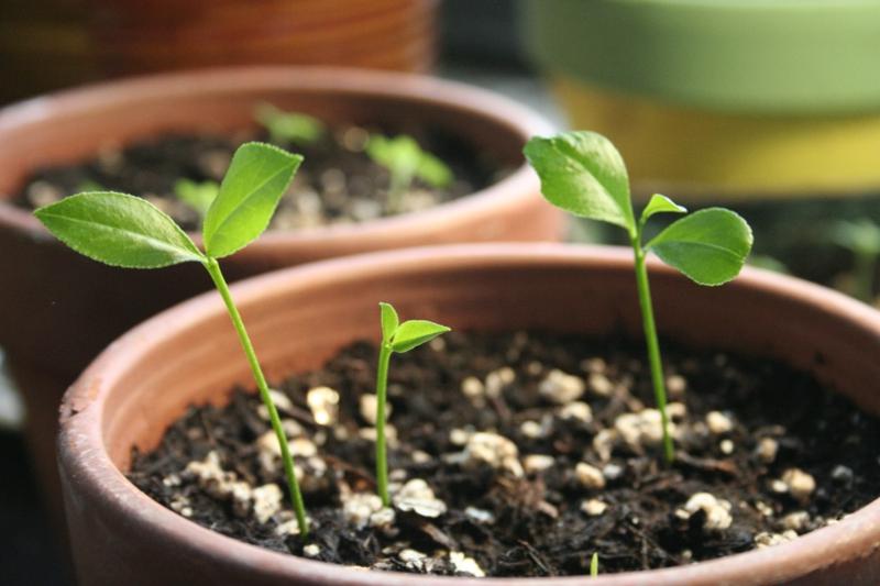 comment faire pousser un citronnier germe de citron dans un pot