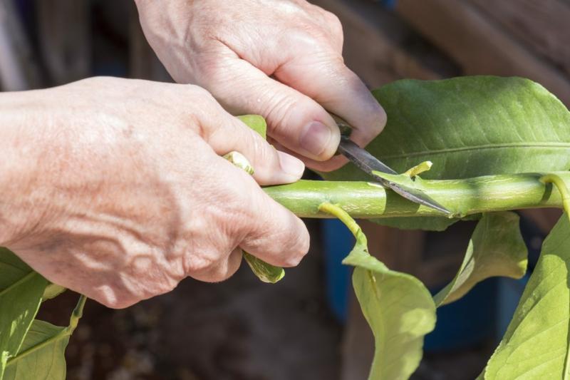 comment faire pousser un citronnier la greffe du citron