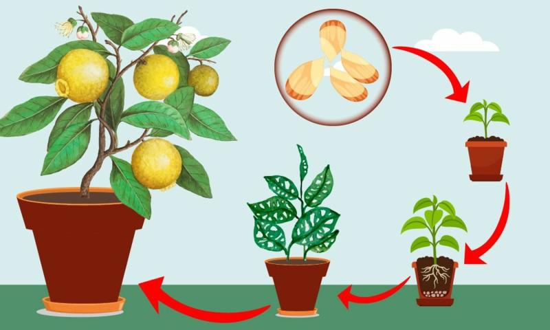 comment faire pousser un citronnier le chemin d un citronnier