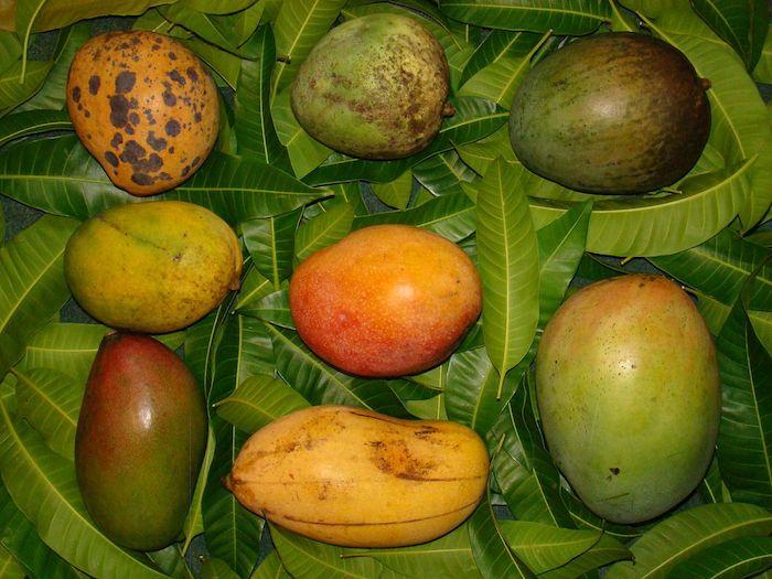 comment savoir si une mangue est mûre étapes différentes