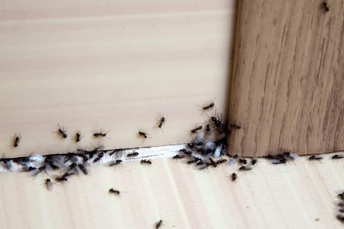 comment se débarrasser des fourmis méthodes efficaces contre invasion insectes intérieur