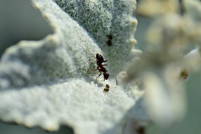 comment se débarrasser des pucerons fourmis rèmede naturel contre parasites jardin