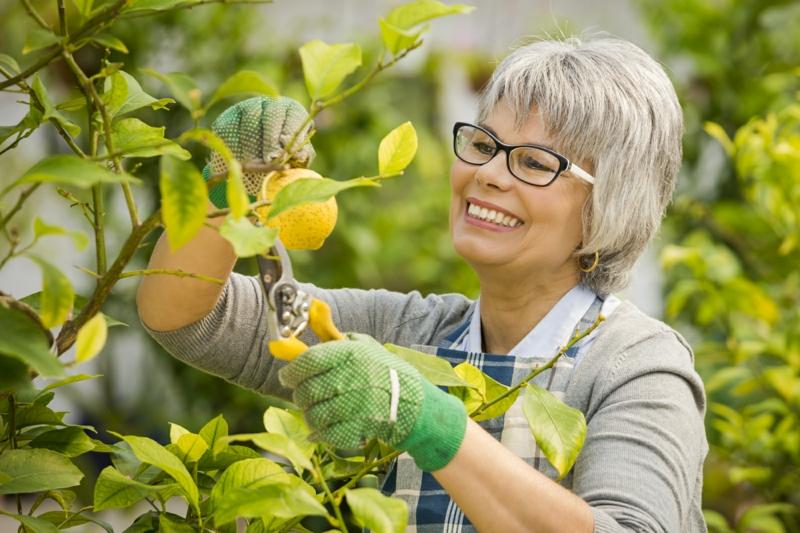 comment tailler un citronnier une dame qui taille un citronnier