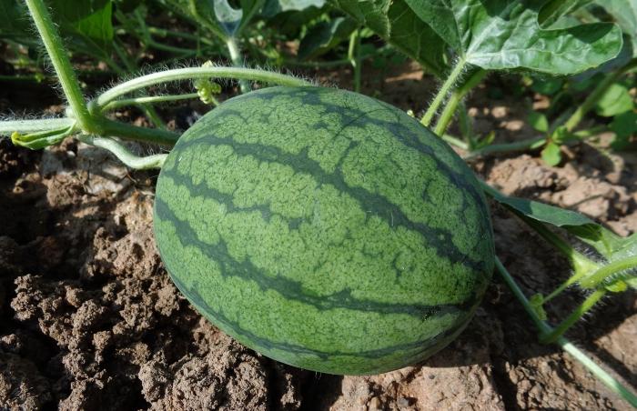 cultivation fruit saisonier graines de pasteque récolte jardin sol feuilles pasteque tige verte