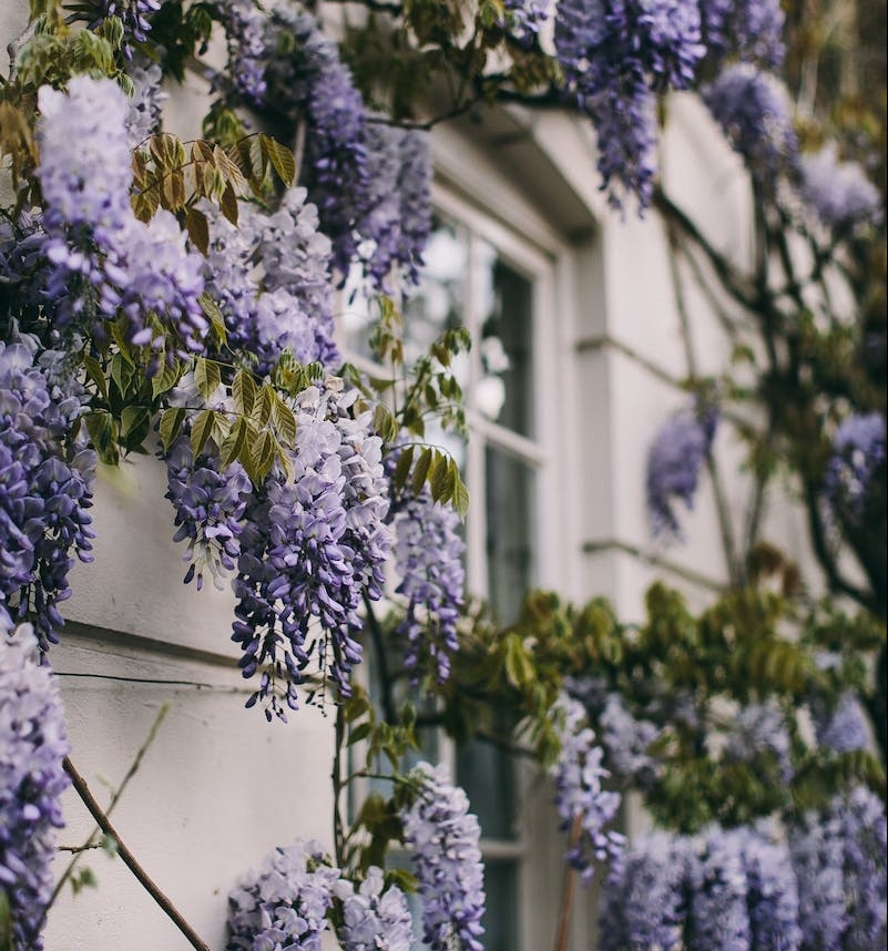 decoration mur exterieur jardin glycine fleurs blanches et violettes façade maison blanche