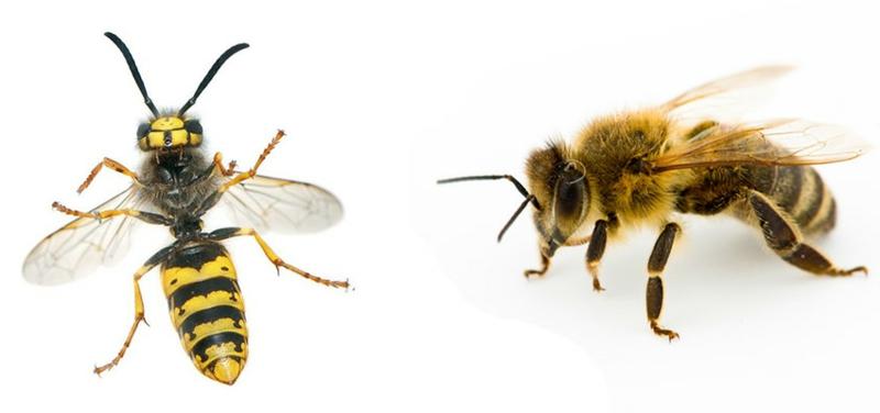 difference entre guepe et abeille une photo d une guêpe et d une abeille