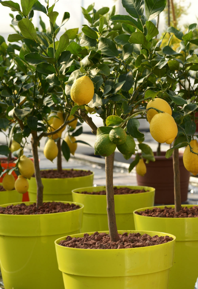 entretien citronnier en pot un arbre citronnier en pot plastique