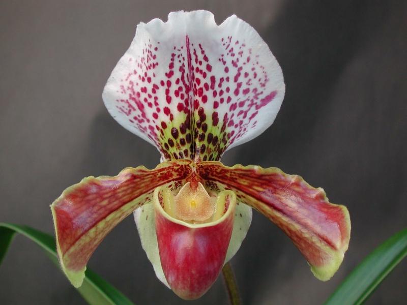 entretien orchidée une orchidée de type paphiopedilum en couleurs différentes